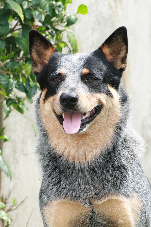 Australian Cattle Dog - Australian Cattle Dog - Dog Breeds