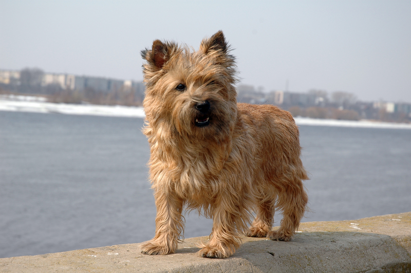 ... Dachshund Puppies further Shih Tzu Haircuts Styles. on cairn terrier