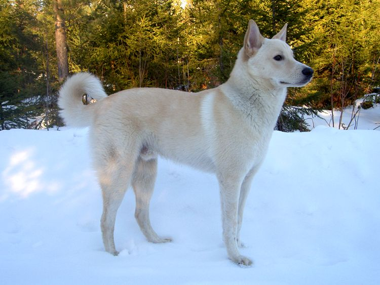 Canaan dog breed canaan dog