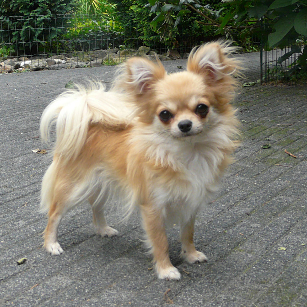 Long Haired Chihuahua Dog | Black Hairstyle and Haircuts
