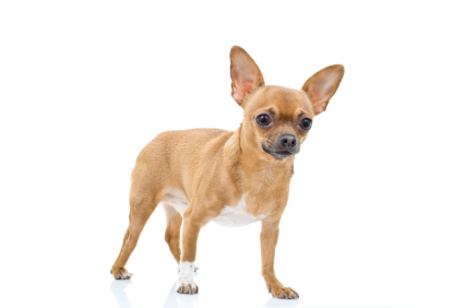 short coat chihuahua chihuahua short coat chihuahua short coat dog breeds 9656