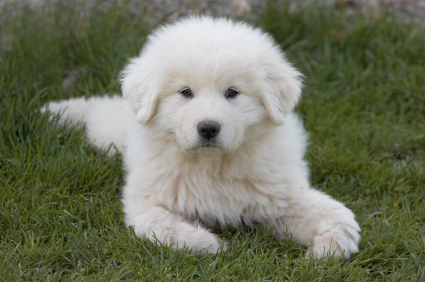 Great Pyrenees - Great Pyrenees - Dog Breeds