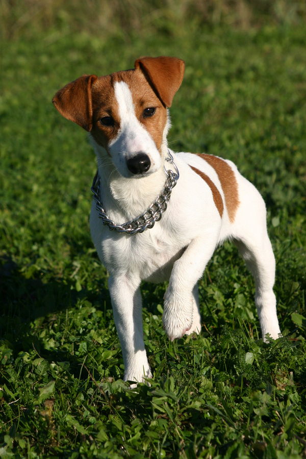 ... Russell Terrier (Smooth) - Jack Russell Terrier (Smooth) - Dog Breeds