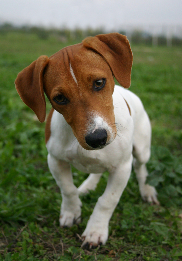 jack russell terrier mixed breeds - photo #28