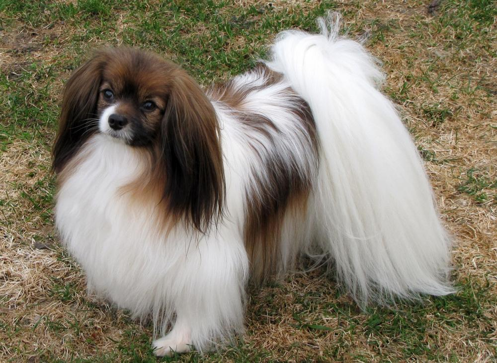 Hershey Kisses  Papillon  Dog Breeds