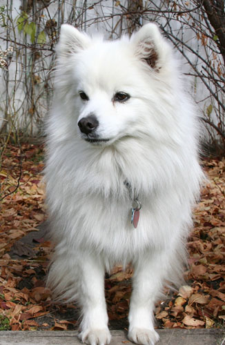 American Eskimo Dog (Toy)