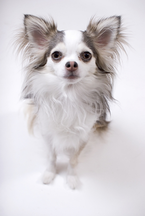 long haired chihuahua pictures. Chihuahua (Long coat)