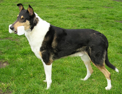Collie (Smooth)