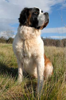 Saint Bernard (Longhaired)