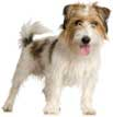 Jack Russell Terrier (Rough)